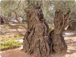 9_olive-trees_300_0.jpg